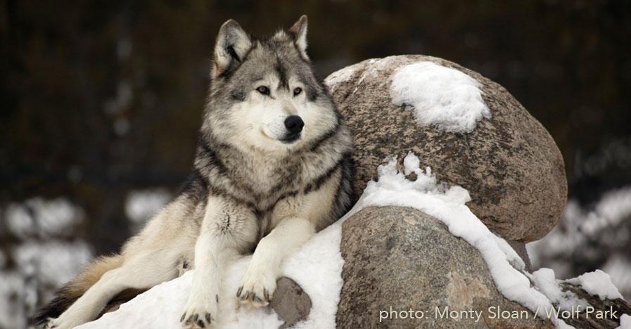 wolf_resting_by_MontySloan_WolfPark