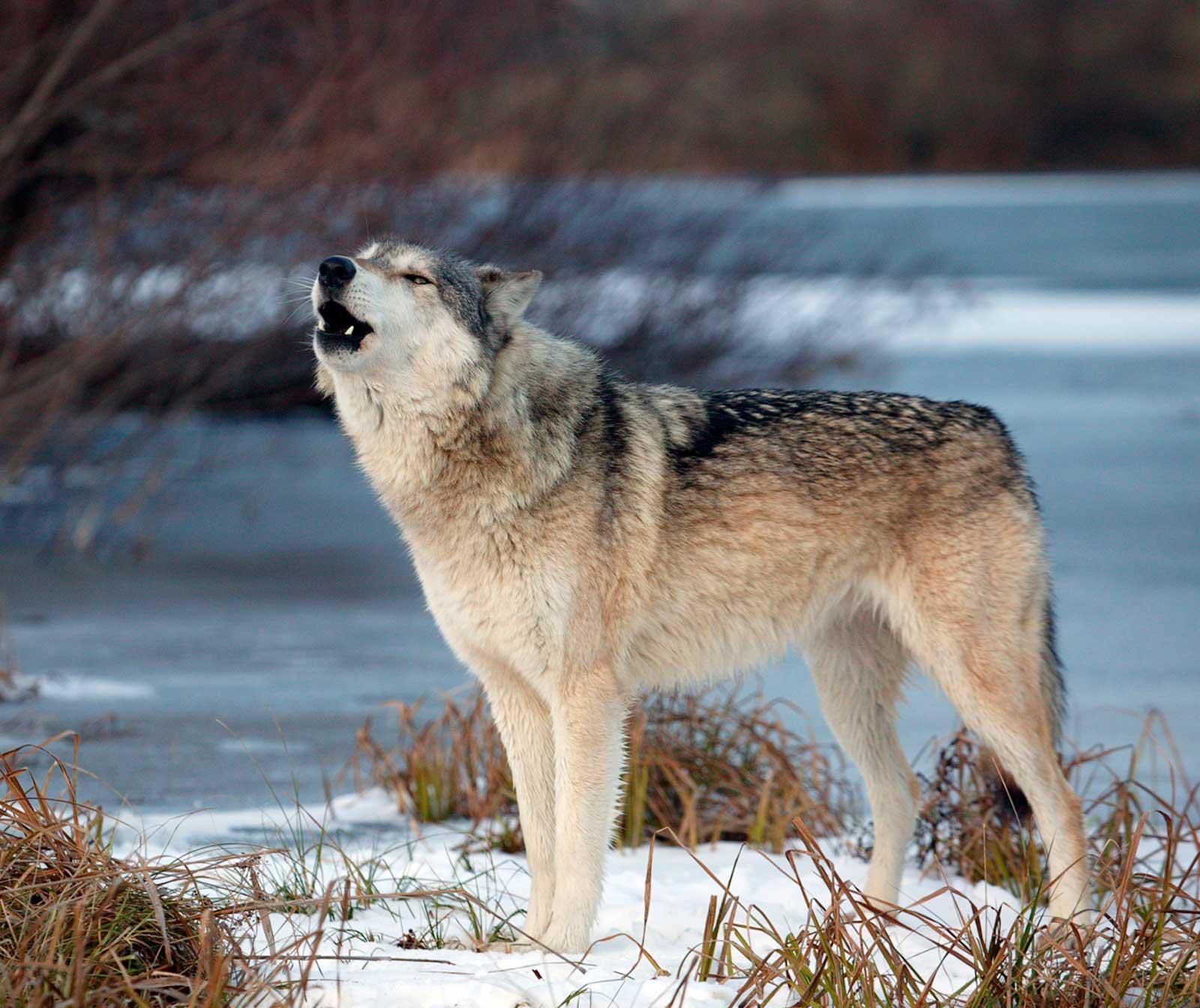 несколько волки камчатки фото вот-вот сказали